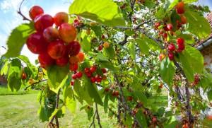 Cseresznyeérés Zala megyében